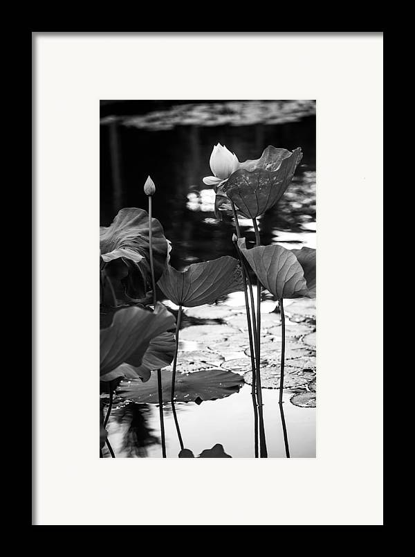 Mauritius Framed Print featuring the photograph Lotuses In The Pond I. Black And White by Jenny Rainbow