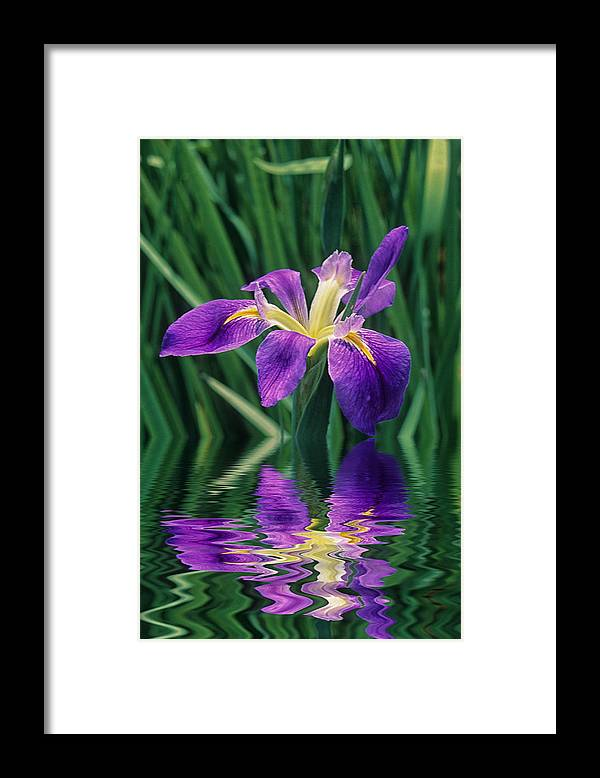 A Louisiana Iris Stands In Water Framed Print featuring the photograph Louisiana Iris by Keith Gondron