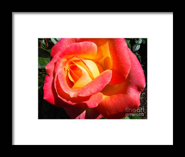 Love And Peace Rose Framed Print featuring the photograph Love And Peace Rose by Paddy Shaffer