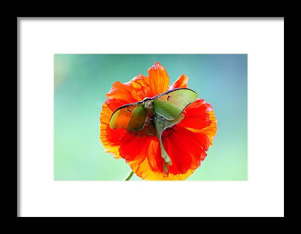 : Framed Print featuring the photograph Luna Moth On Poppy Aqua Back Ground by Randall Branham