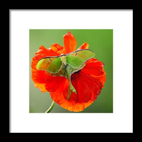Luna Moth Framed Print featuring the photograph Luna Moth On Poppy Square Format by Randall Branham