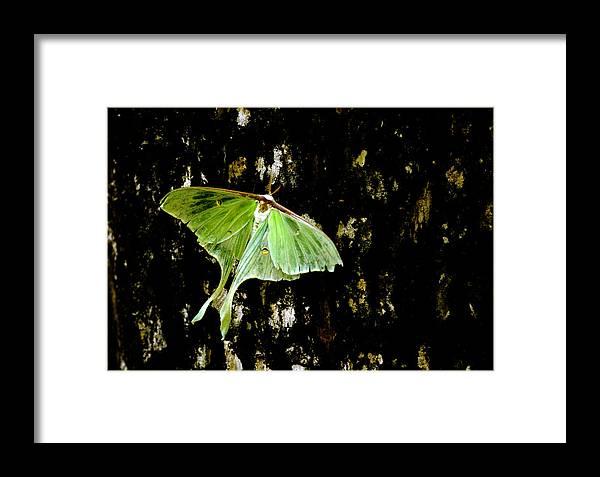 Luna Moth Framed Print featuring the photograph Luna Moth On Tree by Randall Branham