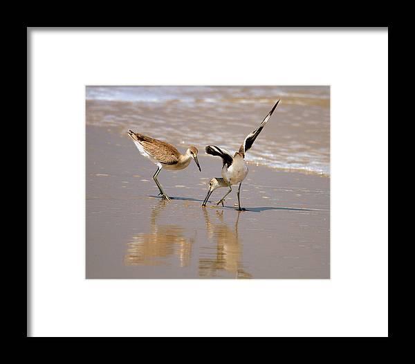Shore Birds Framed Print featuring the photograph Lunch Time At Sandbridge by John Craig