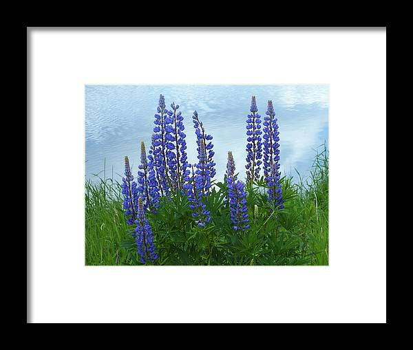 New England Framed Print featuring the photograph Lupine 1 by Gene Cyr