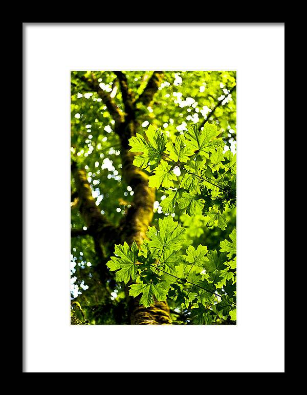 Maple Framed Print featuring the photograph Lush Green Maple by Chandru Murugan
