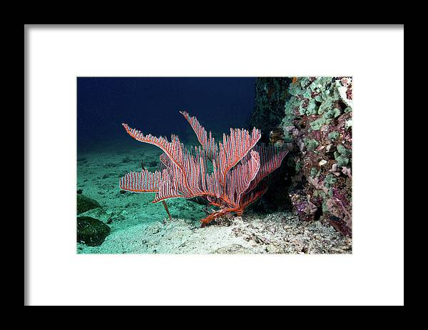 Underwater Framed Print featuring the photograph Lyre Gorgonian, Harp Coral by Gerard Soury