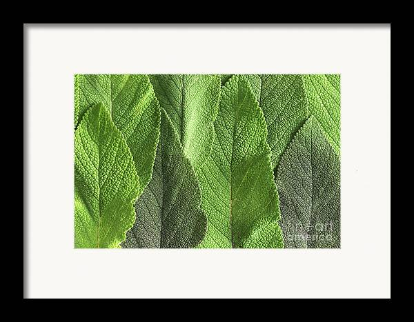 2006 Framed Print featuring the photograph M7500790 - Sage Leaves by Spl