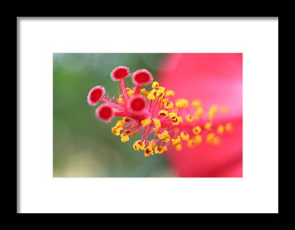 Hibiscus Framed Print featuring the photograph Macro Close Up Of Hibiscus Pollen by Taiche Acrylic Art