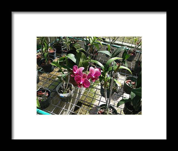 Magenta Framed Print featuring the photograph Magenta Orchid by Ron Torborg
