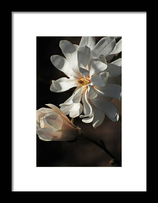Magnolia Framed Print featuring the photograph Magniflora by Jean Booth