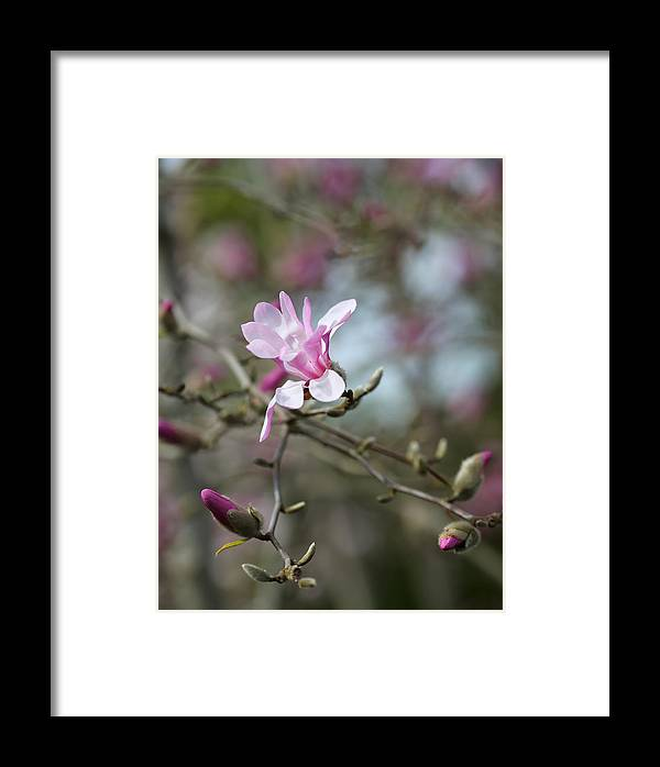 Pink Framed Print featuring the photograph Magnolia Blossom In Tree 3 by Rebecca Cozart