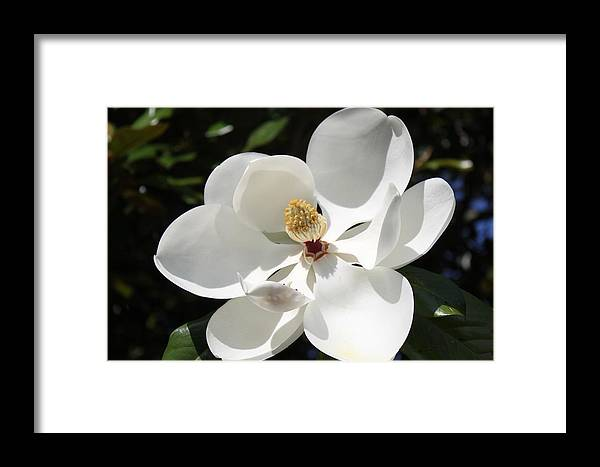 Flower Framed Print featuring the photograph Magnolia by Carolyn Ricks