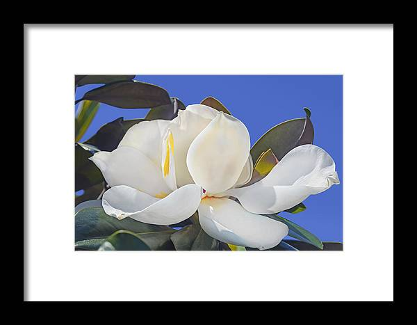 Flower Framed Print featuring the photograph Magnolia by Francesa Miller