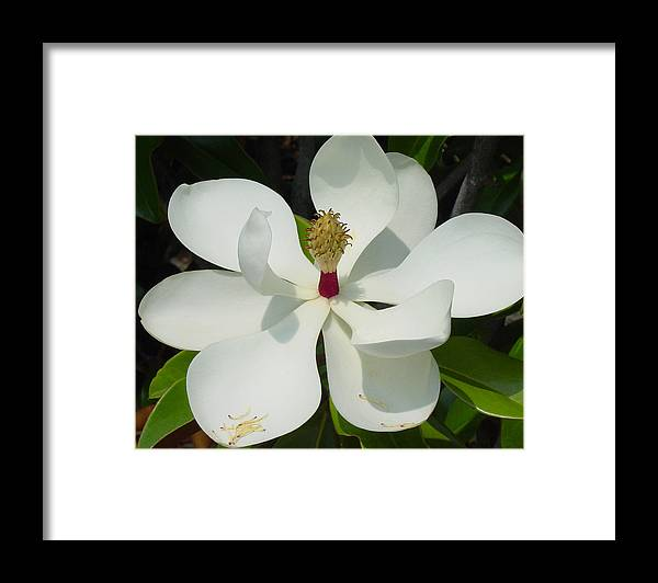 Magnolia Grandiflora Framed Print featuring the photograph Magnolia II by Suzanne Gaff