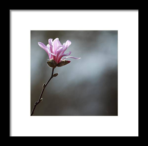 Pink Framed Print featuring the photograph Magnolia In Sun by Rebecca Cozart