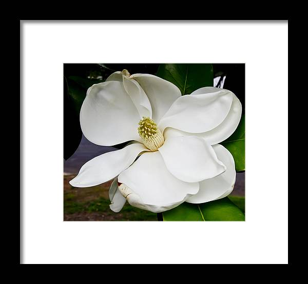 Magnolia Framed Print featuring the photograph Magnolia One by Paul Anderson