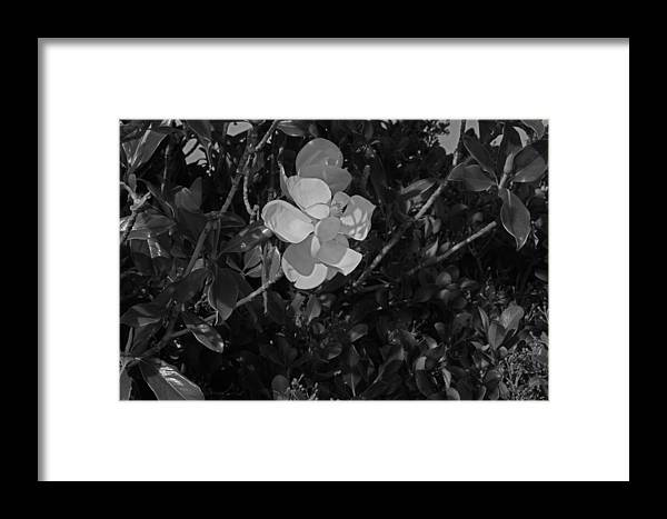 Magnolia Framed Print featuring the photograph Magnolia by Ronald Olivier