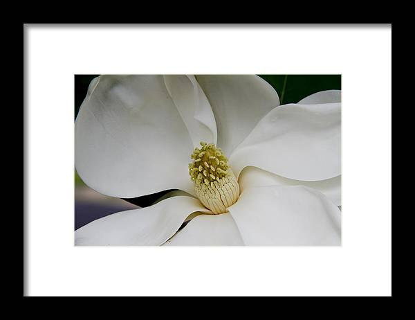 Magnolia Framed Print featuring the photograph Magnolia Two by Paul Anderson