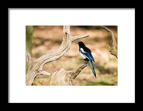 Animal Framed Print featuring the photograph Magpie by David Head