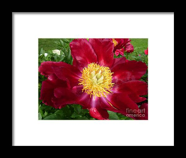 Peony Flower Framed Print featuring the photograph Mahogany Peony by Lingfai Leung