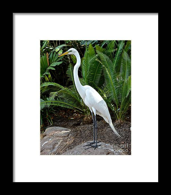 Egret Framed Print featuring the photograph Majestic by Carol Bradley