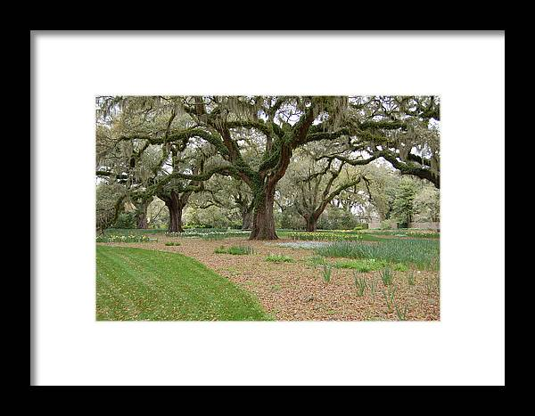 Live Oak Framed Print featuring the photograph Majestic Live Oaks In Spring by Suzanne Gaff