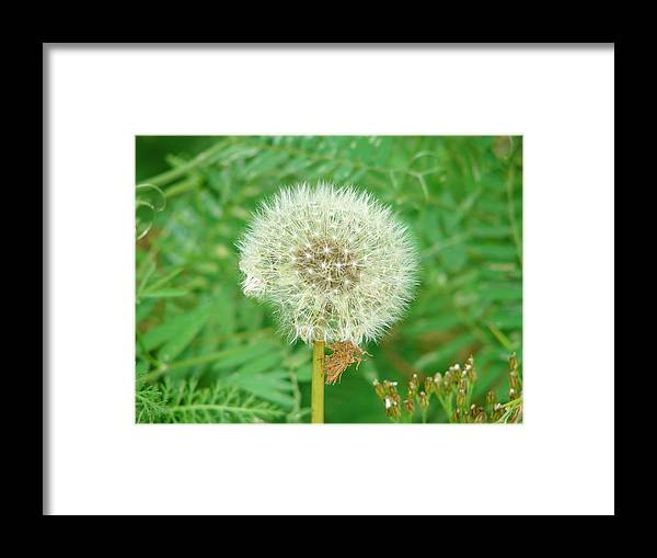 Dandelion Framed Print featuring the photograph Make A Wish by Lew Davis