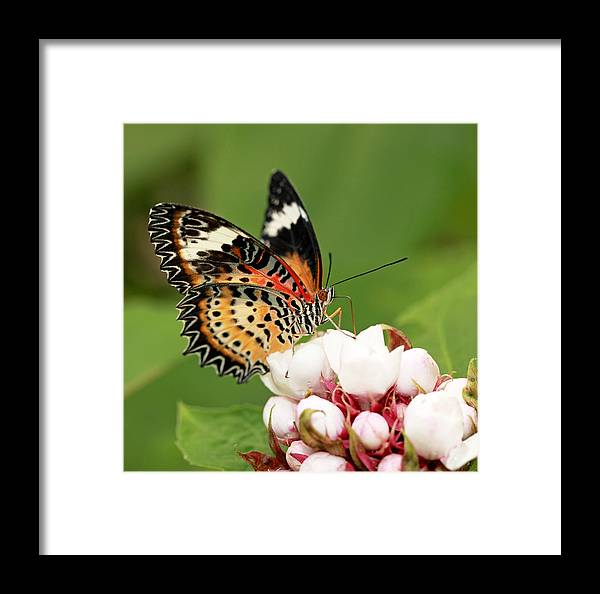 Butterfly Framed Print featuring the photograph Malay Lacewing by Grant Glendinning