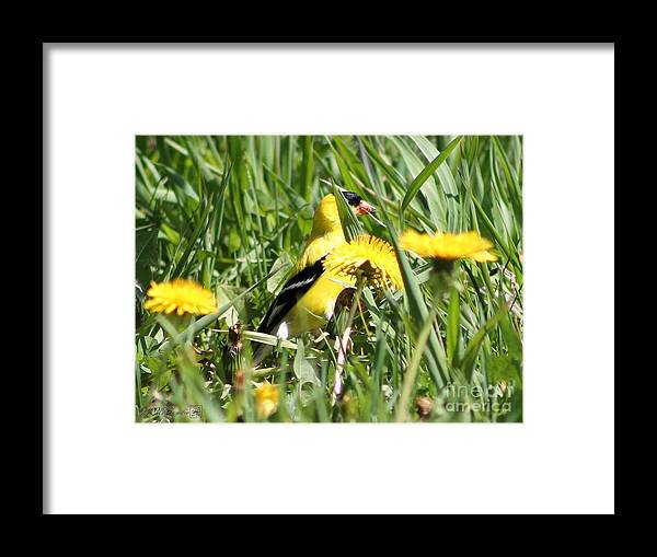 American Goldfinch Framed Print featuring the photograph Male American Goldfinch Camouflage by J McCombie
