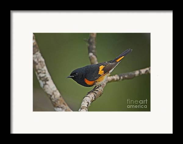 American Redstart Framed Print featuring the photograph Male American Redstart by Neil Bowman