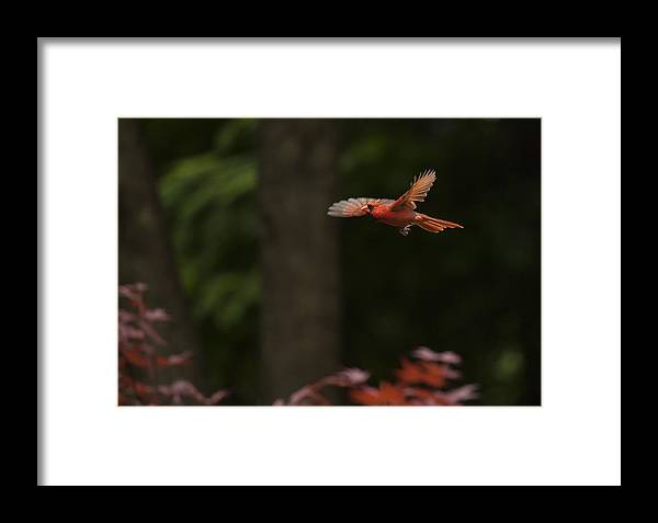 Bird Framed Print featuring the photograph Male Cardinal In Flight by Doug McPherson