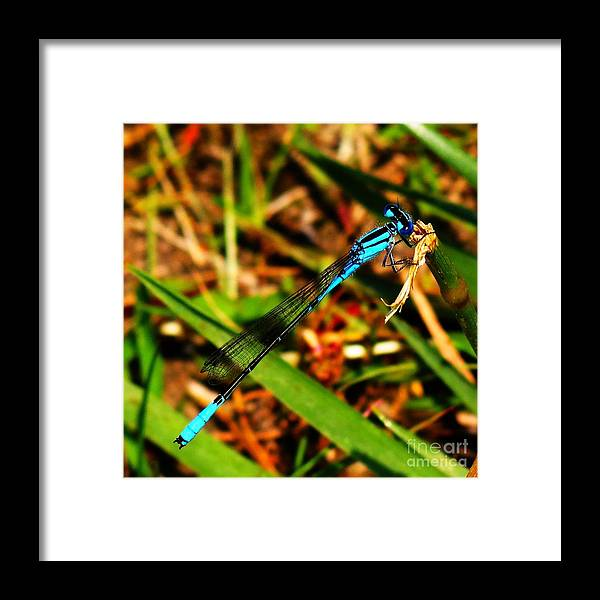 Blue Damselfly Framed Print featuring the photograph Male Damselfly 03 by Rrrose Pix