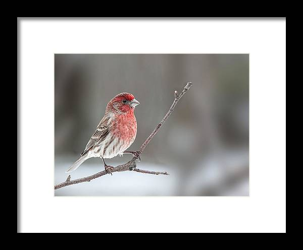 House Finch Framed Print featuring the photograph Male House Finch by Jim Zablotny