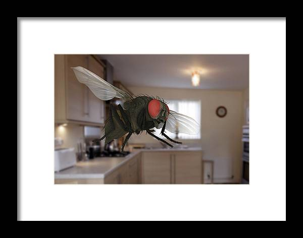 Animal Framed Print featuring the photograph Male Lesser Housefly In Flight, Sem by Power And Syred