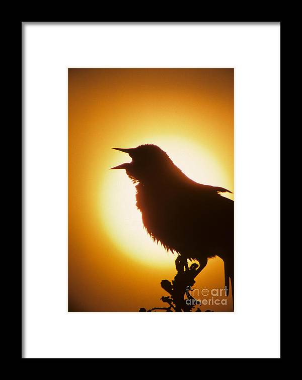 Red-winged Framed Print featuring the photograph male Red-winged Blackbird singing at sunrise by Dave Spier