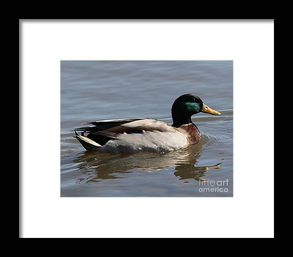 Wildlife Framed Print featuring the photograph Mallard On Hudson by Maxine Kamin