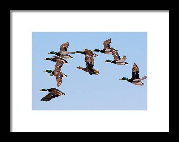 Mallard Ducks Framed Print featuring the photograph Mallards Flight by John Dart