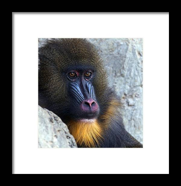 Mandrill Framed Print featuring the photograph Mandrill Eyes by Mark McKinney