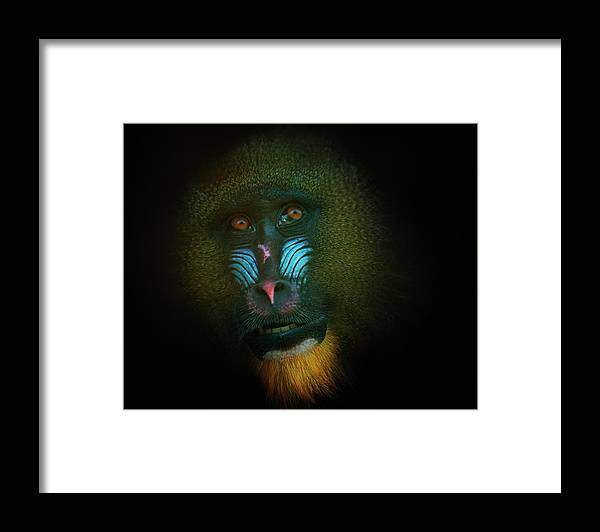 Glasgow Framed Print featuring the photograph Mandrill by Samantha Nicol Art Photography