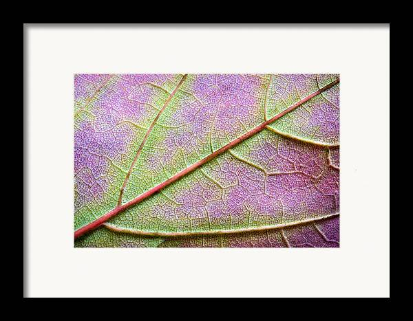 3scape Photos Framed Print featuring the photograph Maple Leaf Macro by Adam Romanowicz