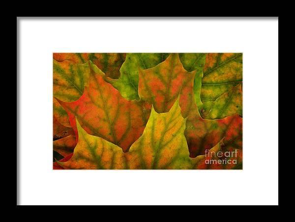 Autumn Leaf Texture Framed Print featuring the photograph Maple Leaves by Jolanta Meskauskiene