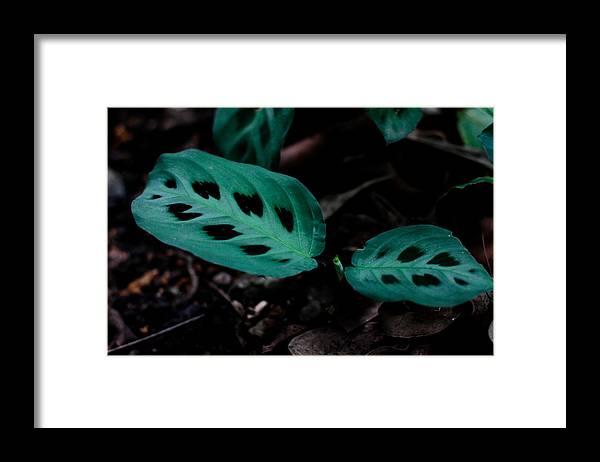 Maranta Leuconeura Framed Print featuring the photograph Maranta Leuconeura by Donald Chen