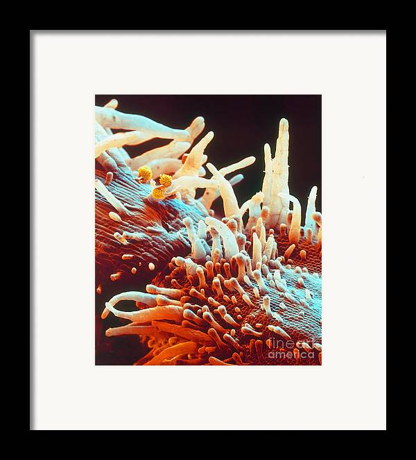 Sem Framed Print featuring the photograph Marigold Petal Sem by Eye Of Science