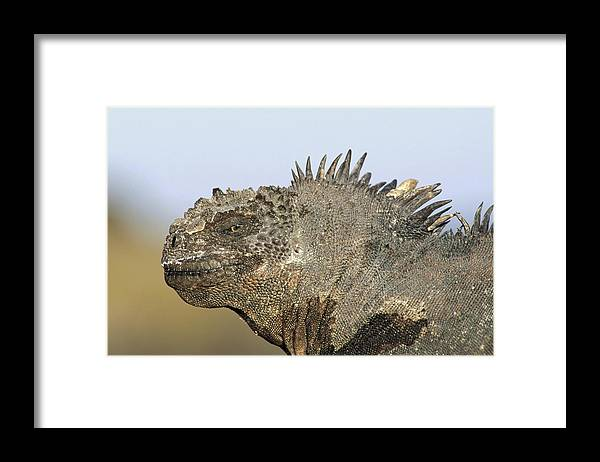 Feb0514 Framed Print featuring the photograph Marine Iguana Male Santa Cruz Island by Tui De Roy