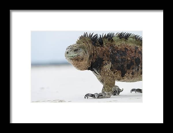 Tui De Roy Framed Print featuring the photograph Marine Iguana Male Turtle Bay Santa by Tui De Roy