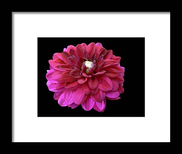 Dahlia Framed Print featuring the photograph Marooned by Doug Norkum