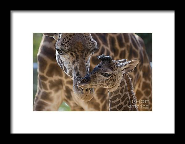 San Diego Zoo Framed Print featuring the photograph Masai Giraffe And Calf by San Diego Zoo