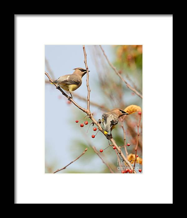 Cedar Waxwing Framed Print featuring the photograph Masked Duo by Kerri Farley