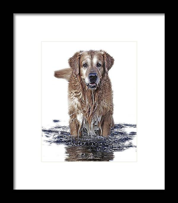 Dog Framed Print featuring the photograph Master Of Wet Elements by Joachim G Pinkawa