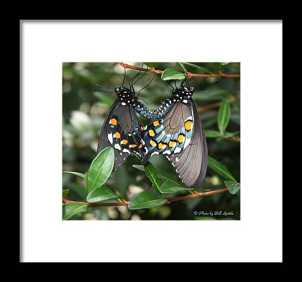 Butterfly Framed Print featuring the photograph Mating Swallowtails by Bill Spittle